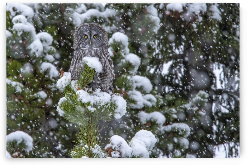 7770 - Snow Storm Great Grey Owl by Ken Anderson Photography