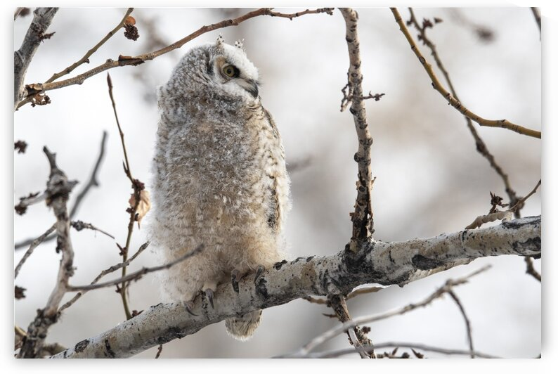 2467 - Great Horned Owlet by Ken Anderson Photography