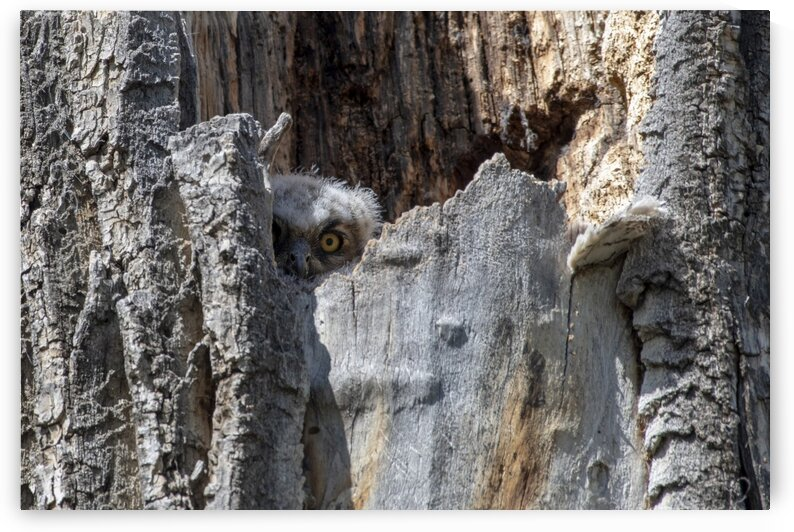 5090 - First Look Great Horned Owlet by Ken Anderson Photography