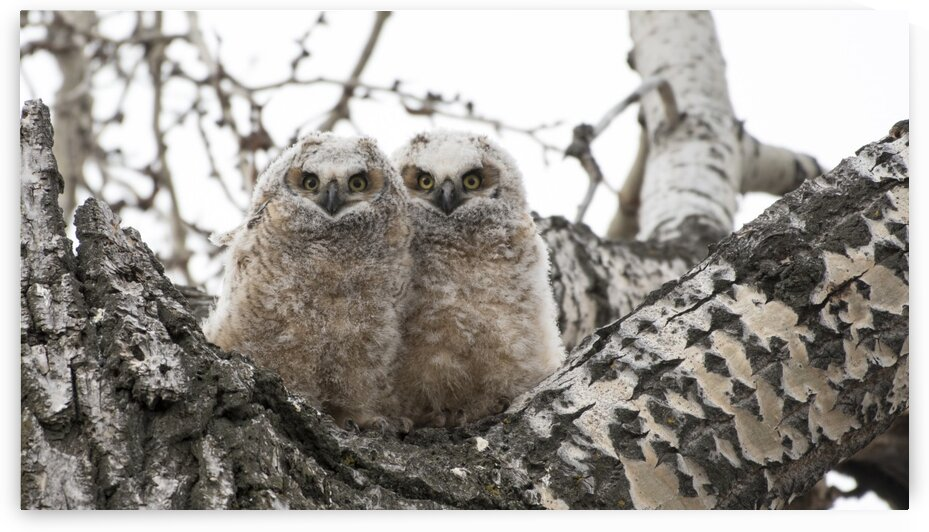 5142 - Fluff Great Horned Owlets by Ken Anderson Photography