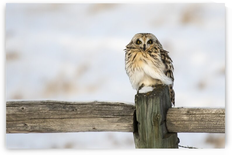 5712 - Short Eared Owl by Ken Anderson Photography