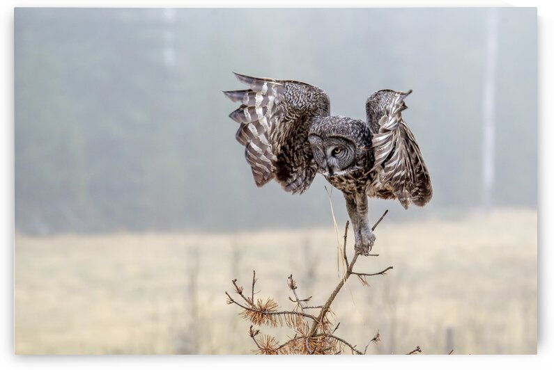 3031 - Great Grey Owl on Attack by Ken Anderson Photography