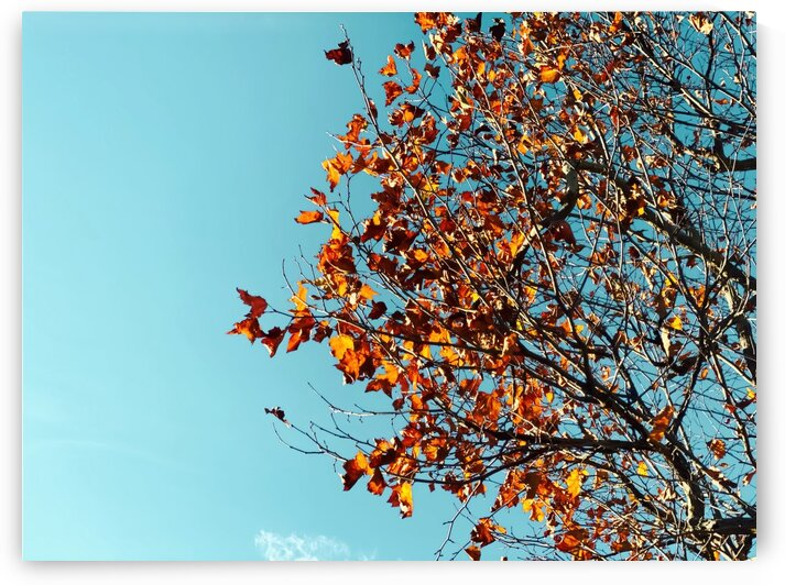 Orange autumn tree leaves with blue sky background by TimmyLA