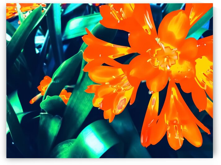 blooming orange Clivia flowers with green leaves background by TimmyLA