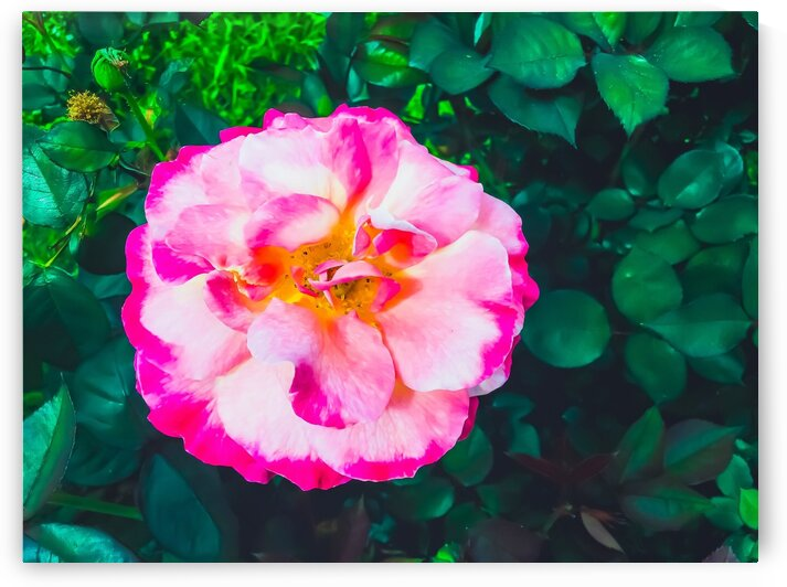 Closeup blooming pink rose with green leaves background by TimmyLA