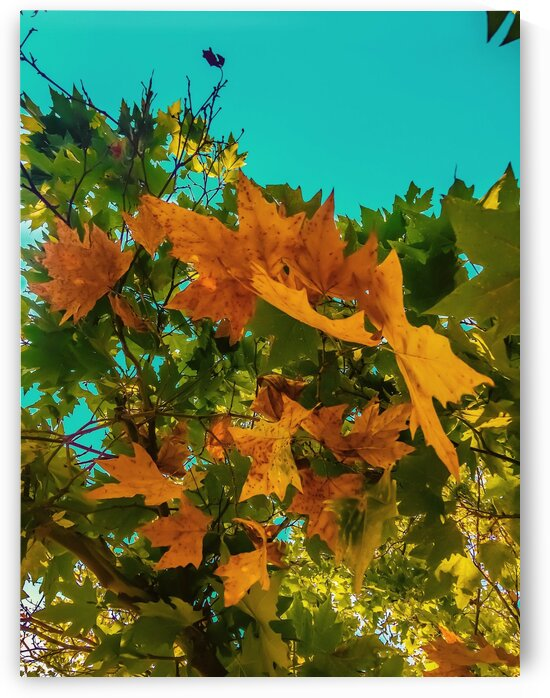 Maple tree branch with orange and green autumn leaves and blue sky by TimmyLA