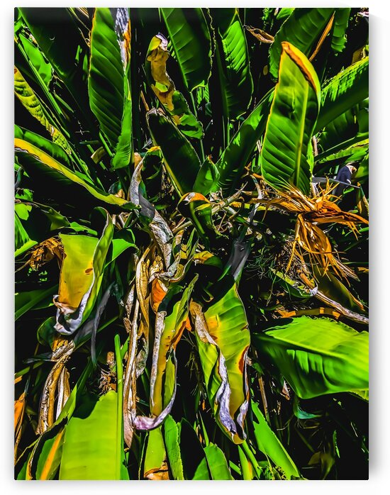 Bird of paradise plant with green leaves background by TimmyLA