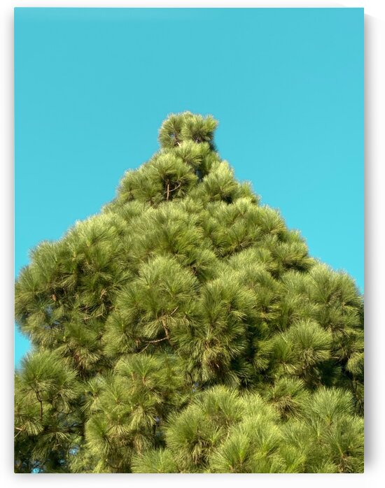 isolated green pine tree with blue sky background by TimmyLA