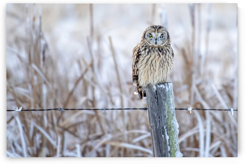 8258 - Yes Its That Cold Out - Short Eared Owl by Ken Anderson Photography