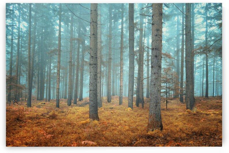Beautiful dreamy conifer forest  by Winston Mauricio Casco Sobalvarro
