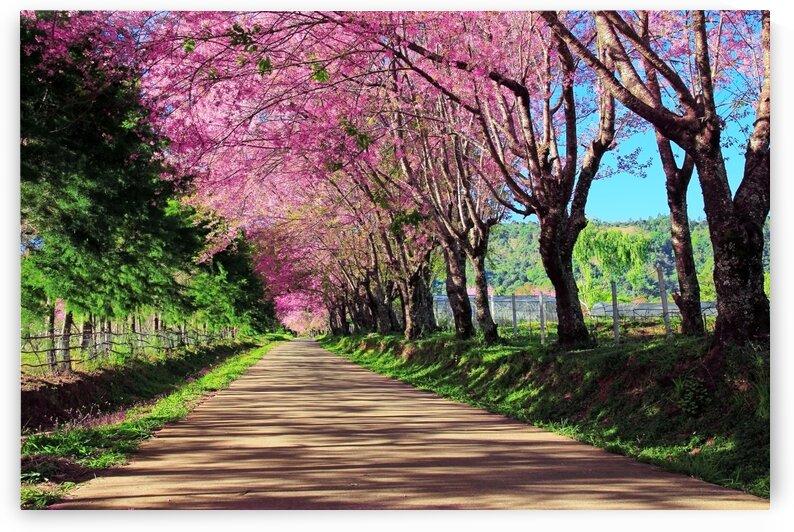 Cherry blossom pathway  by Winston Mauricio Casco Sobalvarro