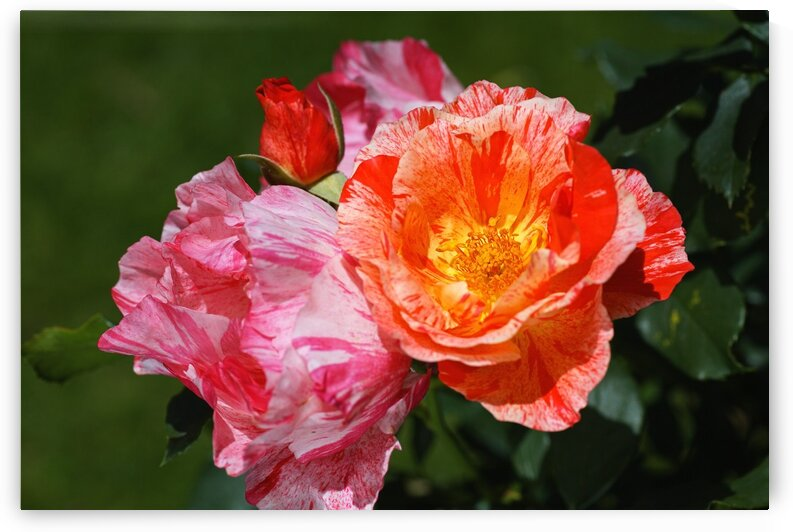 Three Scentimental Rose Flowers by Joy Watson