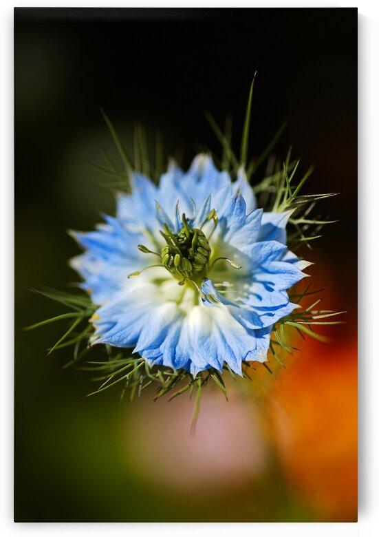 Nigella Flower by Joy Watson
