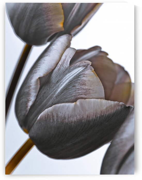 Tulip flowers on white background by Assaf Frank