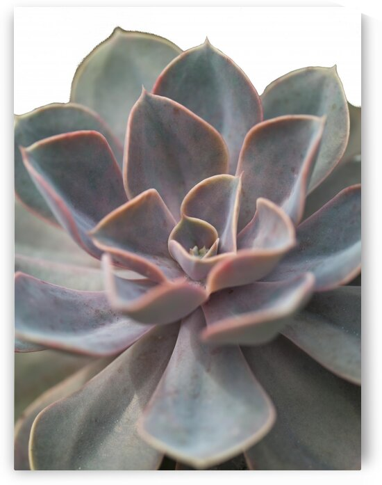 Close-up of Echeveria flower by Assaf Frank