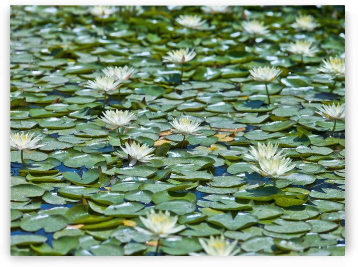 Water Lilies by Assaf Frank