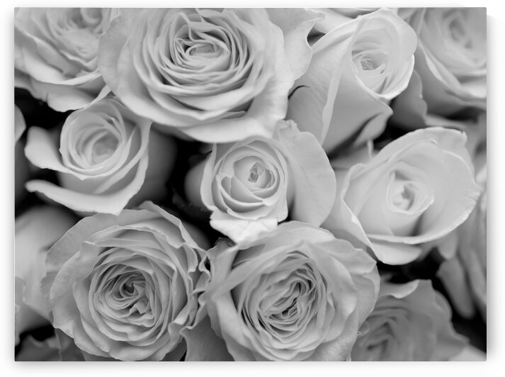 Close-up of bunch of rose (B&W) by Assaf Frank