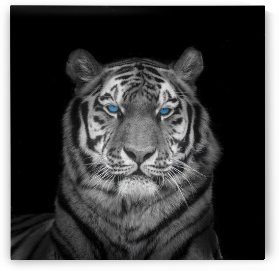 Blue eyes tiger face by Assaf Frank