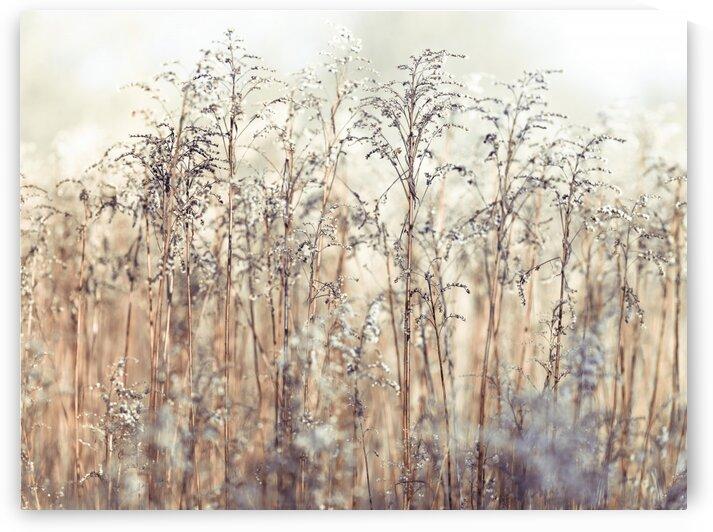 Grass Reeds by Assaf Frank