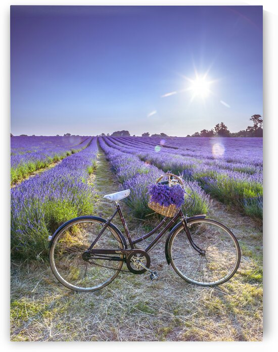 Bicycle with flowers in a Lavender field by Assaf Frank