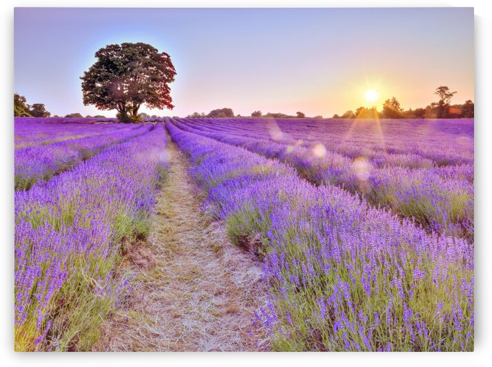 Lavender field at sunset by Assaf Frank