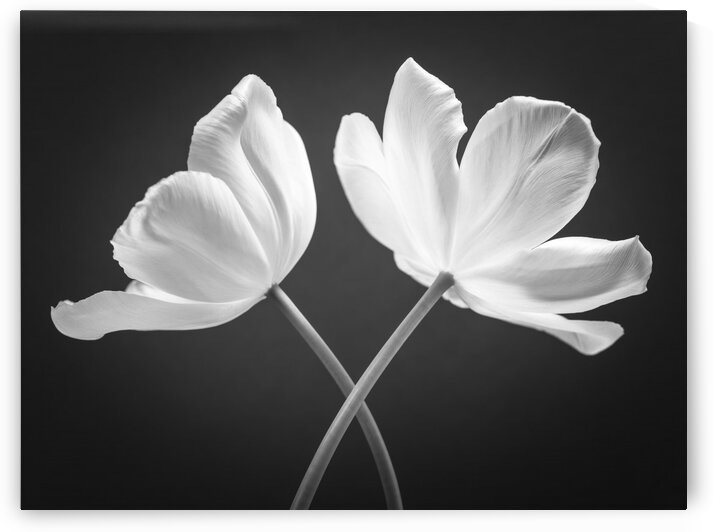 Two Tulip flowers crossed by Assaf Frank