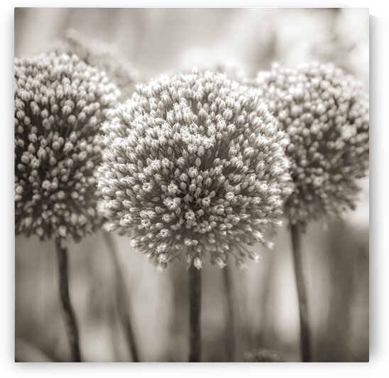 Allium flowers by Assaf Frank
