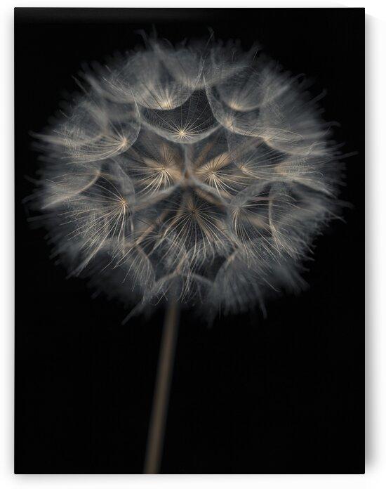 Dandelion flower over black background by Assaf Frank
