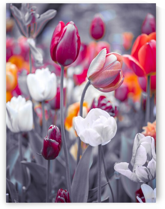 Colorful Tulip flowers by Assaf Frank