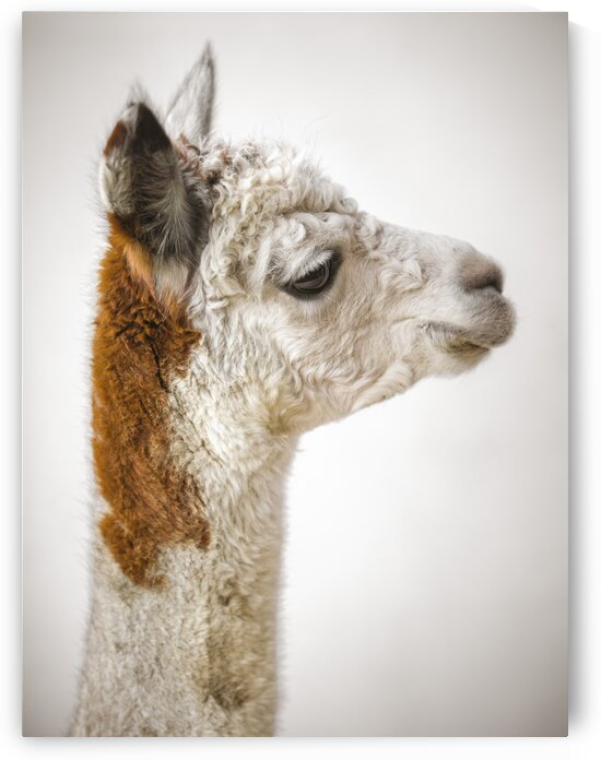 Close-up of Alpaca by Assaf Frank