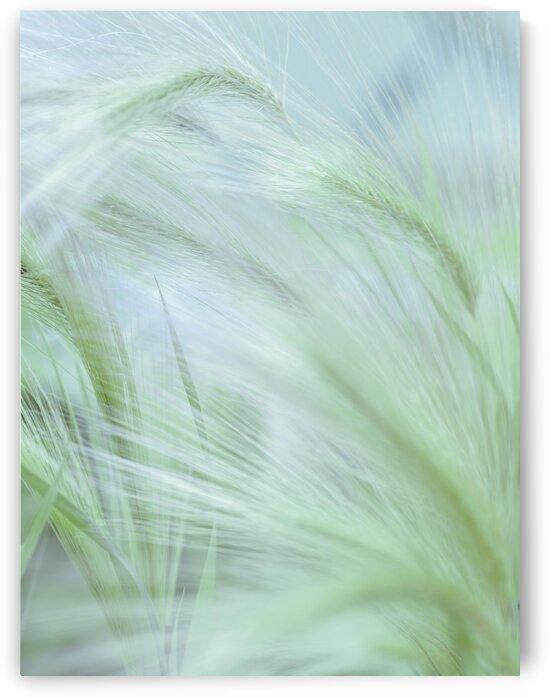 Wild grass Foxtail Barley by Assaf Frank