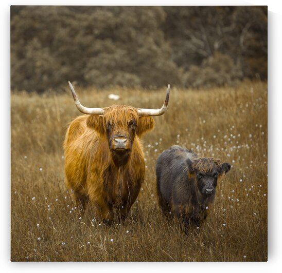 Highland Cows by Assaf Frank