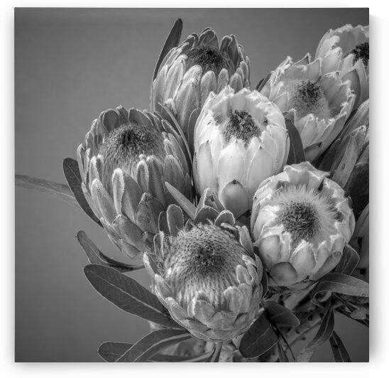 Protea flowers by Assaf Frank