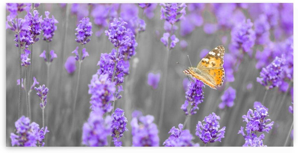 Butterfly Lavender flowers by Assaf Frank