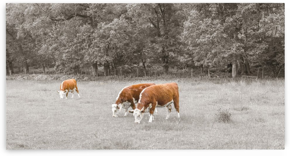 Cows in the field by Assaf Frank