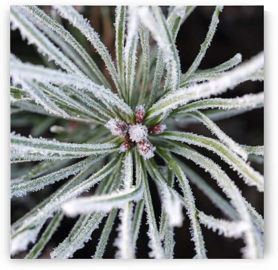 Frost on Pine Shoots by Assaf Frank