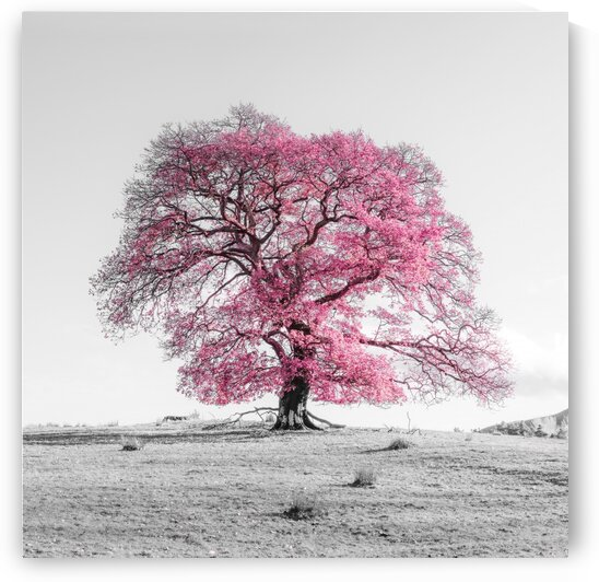Tree on a hill, pink by Assaf Frank
