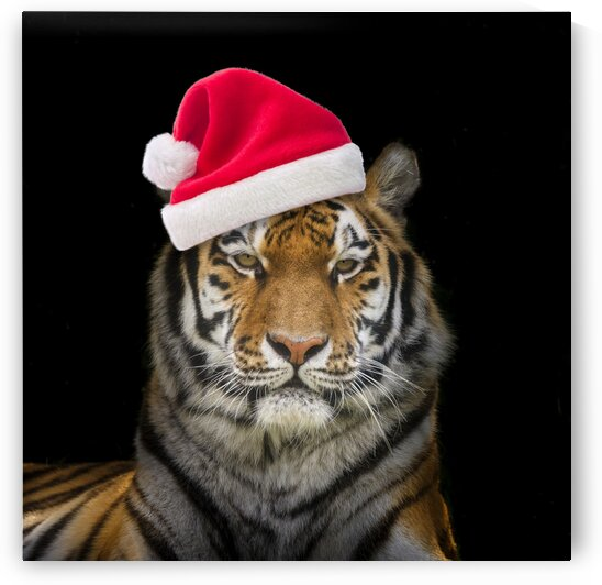 Tiger with Santa hat by Assaf Frank