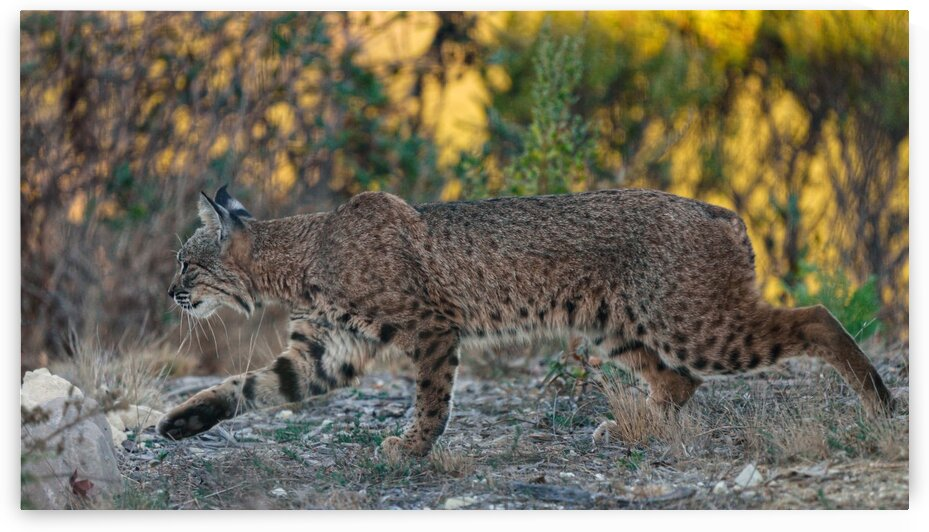 Hunting Bobcat by Guy Churchward