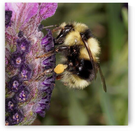 Bumble Bee by Guy Churchward