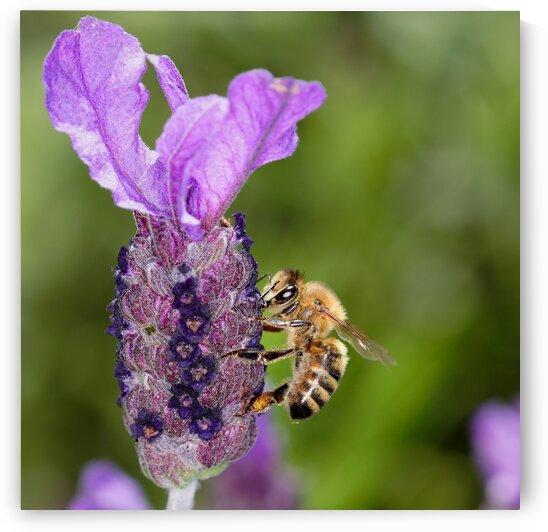 Bee On Lavender by Guy Churchward