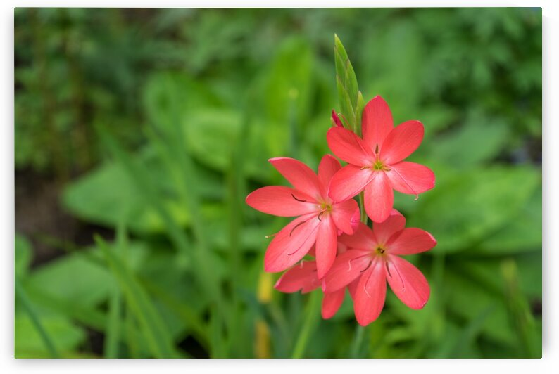 Three Bold Pink River Lily Blooms - Exotic South African Beauties in a Garden by GeorgiaM