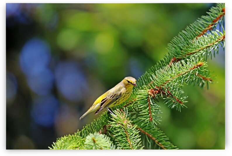 Sing A Song Warbler by Deb Oppermann