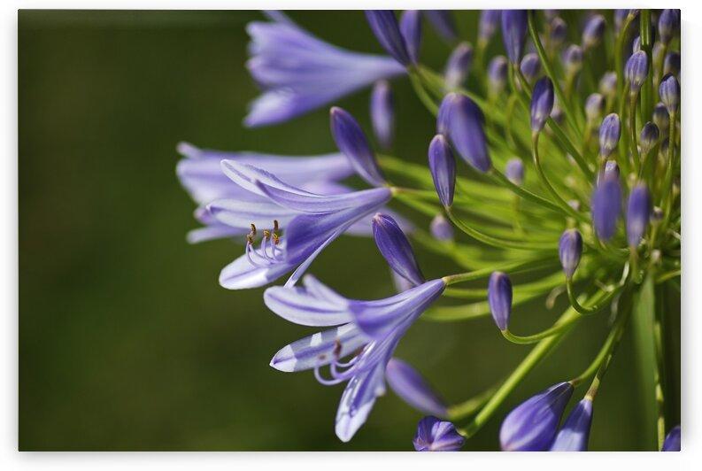 Agapanthus Flowers Purple by Joy Watson