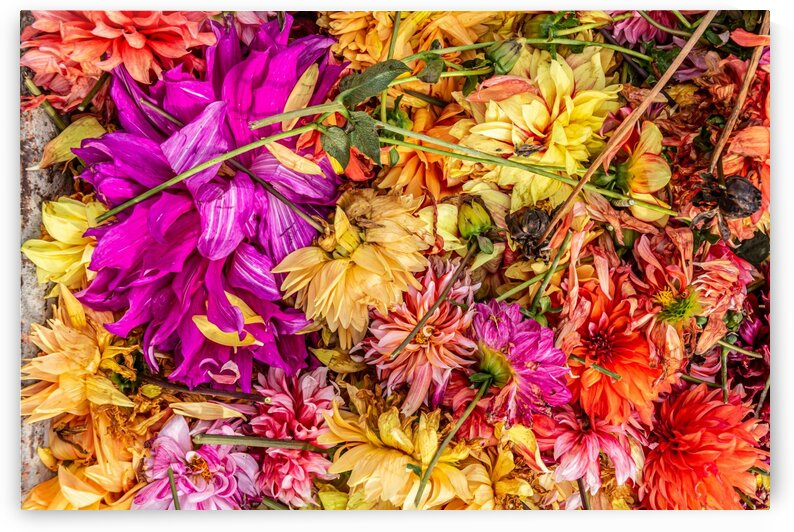 Discarded Colourful Dahlia Blossoms in the Fall by bj clayden photography