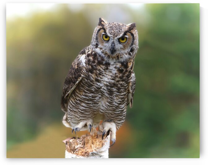 GreatHornedOwl by Chris Seager
