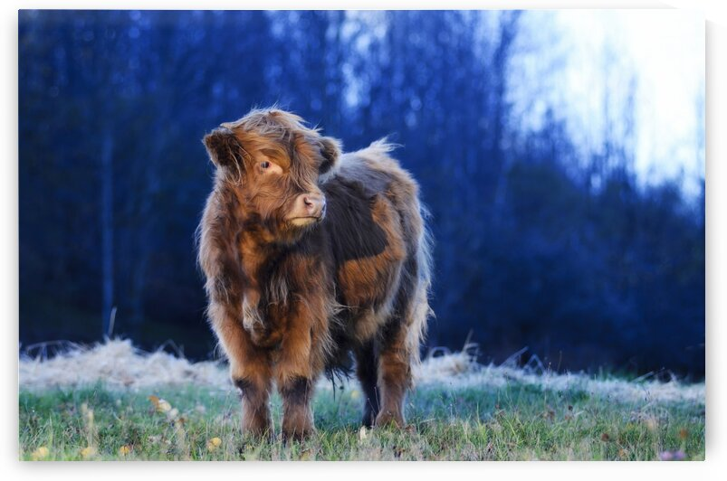 Highland cow by Jacques Frenette