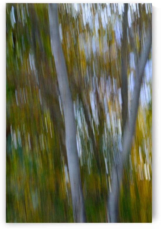 Birch Trees Autumn by Michelle K Wood