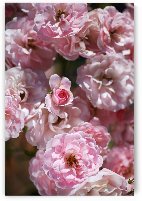 Pink Bud Among The Roses by Joy Watson