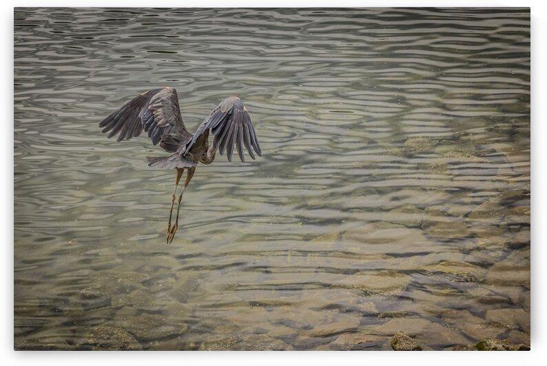 Great Blue Heron in Flight by bj clayden photography